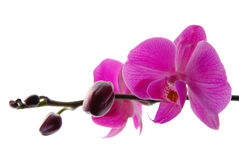 Blooming violet orchids flower Royalty Free Stock Image