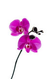 Blooming violet orchids flower isolated on white Stock Image