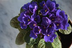 Blooming violet in a pot on the marble windowsill. Blooming violet in a pot on a marble windowsill, under the sun, with water droplets, against a brick wall stock photos