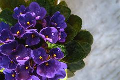 Blooming violet in a pot on the marble windowsill. royalty free stock images