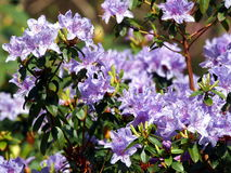 Blooming violet Rhododendron 'Blue Wonder' Stock Photos