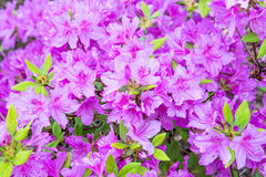 Blooming violet rhododendron bush. Royalty Free Stock Photos
