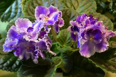 Blooming violet Stock Photography