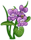 Blooming violet. Stock Photography