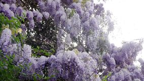 Blooming violet Wisteria tree in spring. Garden stock video