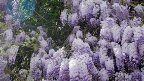 Blooming violet Wisteria tree in spring. Garden stock video footage