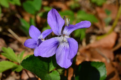 Blooming Violets. Close up shot of violets flowers blooming in spring meadow Stock Photo