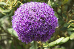 Allium - violet ball  Stock Images