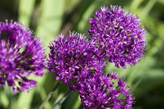 Allium - blooming violet ball  Royalty Free Stock Photo