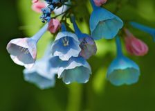 Blooming Virginia Bluebells Stock Image