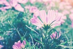 Blooming vivid pink cosmos flower in garden Stock Photos