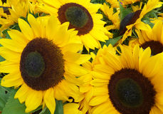 Blooming Vivid Yellow Sunflowers Royalty Free Stock Photos