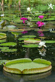 Blooming water lilies and lily pads in a pond Royalty Free Stock Image