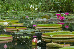 Blooming water lilies and lily pads in a pond Stock Photography
