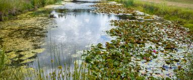 Blooming water lilies in small pond Royalty Free Stock Photo