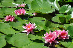 Blooming water lilies Royalty Free Stock Photo