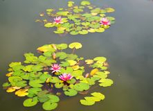 Blooming water lillies royalty free stock photos
