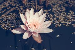 Blooming water lilly Stock Photography