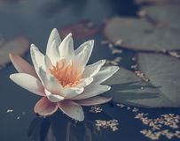 Blooming water lilly Royalty Free Stock Photo