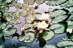 Blooming water lily flowers Stock Photography