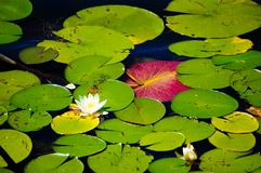 Blooming water-lily with its green and pink leaves stock image