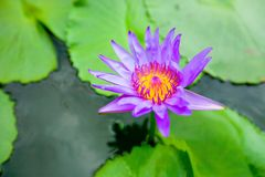Blooming water lily ( Lotus ) Royalty Free Stock Photos