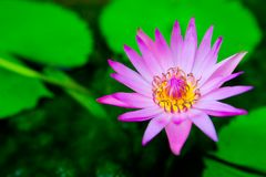 Blooming water lily ( Lotus ) Stock Images