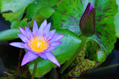 Blooming water lily or lotus flower in the sink. Stock Photo