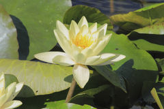 Blooming water lily Stock Photo
