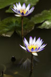 Blooming Water Lily. In the Pond Royalty Free Stock Photo