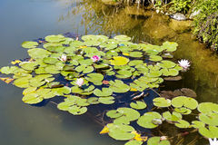 Blooming water lily in a pond Royalty Free Stock Image