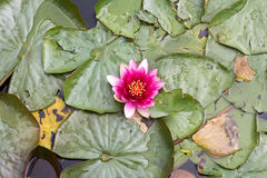 Blooming water lily in small pond Stock Photography