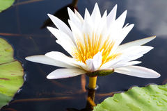Blooming water lily Stock Photography