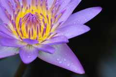 Blooming Waterlily. Blooming Purple Star Lotus / waterlily with fresh raindrops Stock Photos