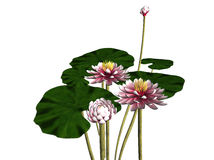 Blooming waterlily. 3d illustration of blooming waterlily and pads isolated on white background Stock Photo
