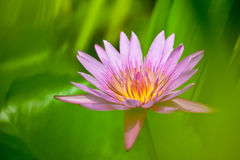 Blooming waterlily flower Stock Image