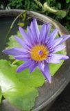 Blooming Waterlily in water basin Stock Images