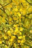 Blooming Wattle stock photo