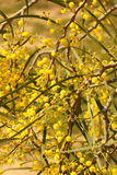 Blooming Wattle stock photography