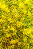 Blooming Wattle Stock Image