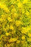 Blooming Wattle stock image