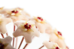 Blooming Wax plant. Macro of Hoya Carnosa (Asclepiadaceae) umbel isolated on white royalty free stock images