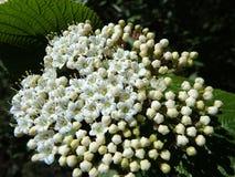 Blooming Wayfaring Tree. Viburnum lantana Stock Photo