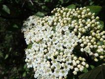 Blooming Wayfaring Tree. Viburnum lantana Royalty Free Stock Photo