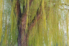 Blooming weeping willow tree Royalty Free Stock Photo