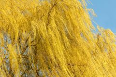 Blooming weeping willow tree in spring. Sunny day. Blooming weeping willow tree in sunny spring day royalty free stock image