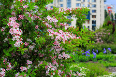 Blooming weigela shrub with pink flowers Stock Photos