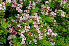 Blooming weigela shrub with pink flowers Royalty Free Stock Photo