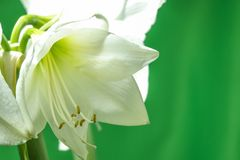 Blooming white Amaryllis stock photo