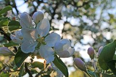 Blooming white Apple flowers closeup royalty free stock photos